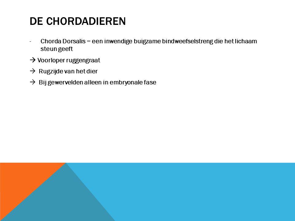 DE CHORDADIEREN -Chorda Dorsalis = een inwendige buigzame bindweefselstreng die het lichaam steun geeft  Voorloper ruggengraat  Rugzijde van het die