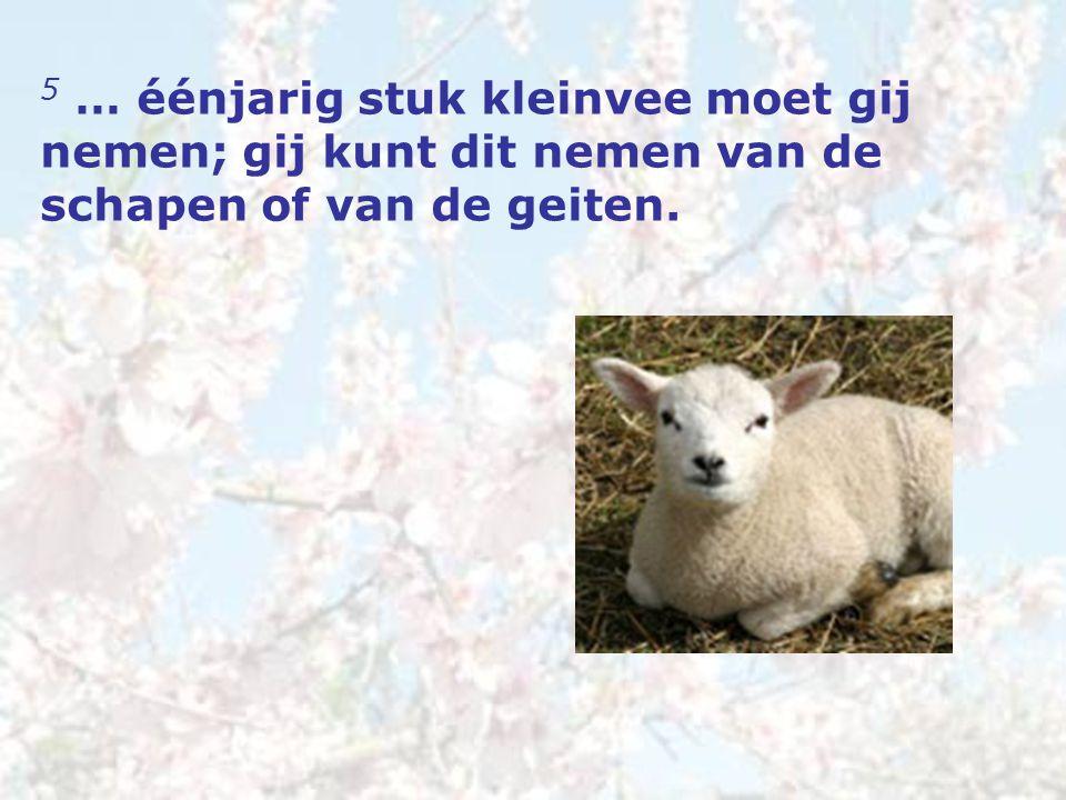 5 … éénjarig stuk kleinvee moet gij nemen; gij kunt dit nemen van de schapen of van de geiten.