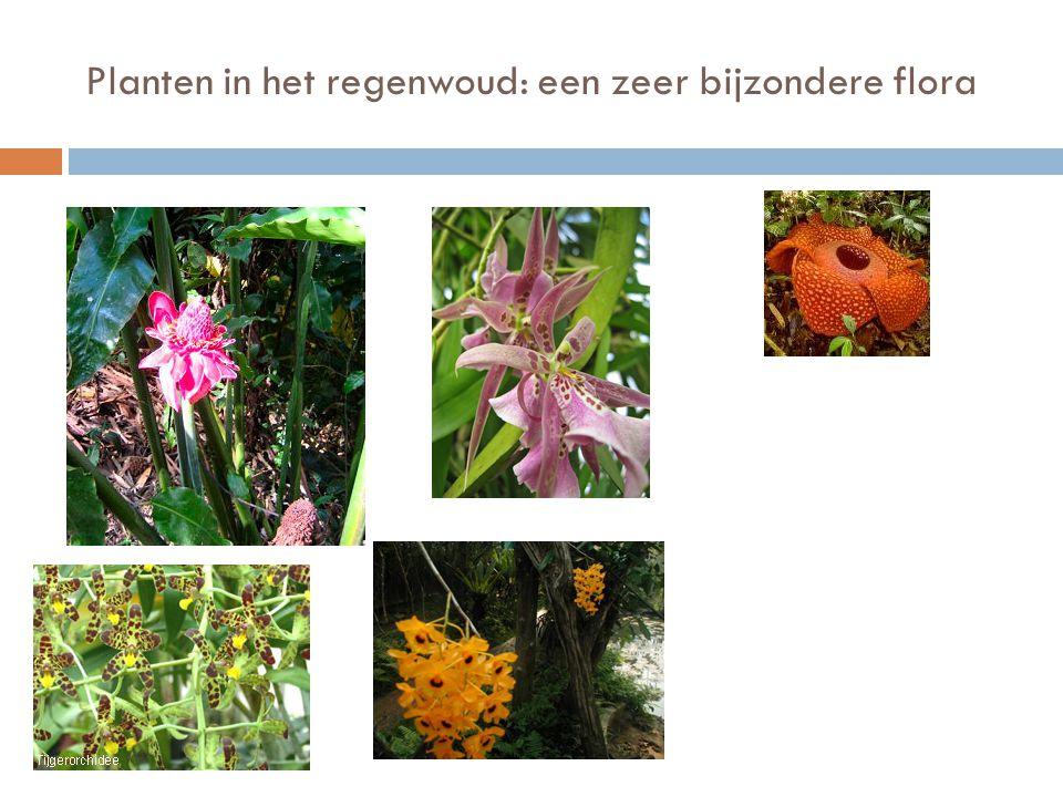 Planten in het regenwoud: een zeer bijzondere flora