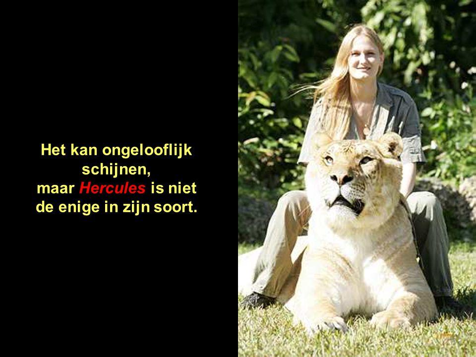 Dr. Bhagavan Antle, eigenaar van het soorteninstituut in Miami, Florida - Verenigde Staten, zegt: Ik heb die kruising NIET gepland. Wij hebben leeuwen