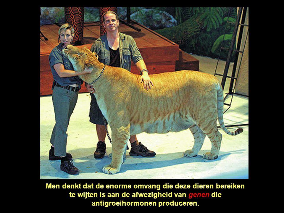 Hercules verslindt dagelijks gemiddeld 9 kilogram vlees en kip, maar hij kan 45 kilogram eten in één maaltijd.