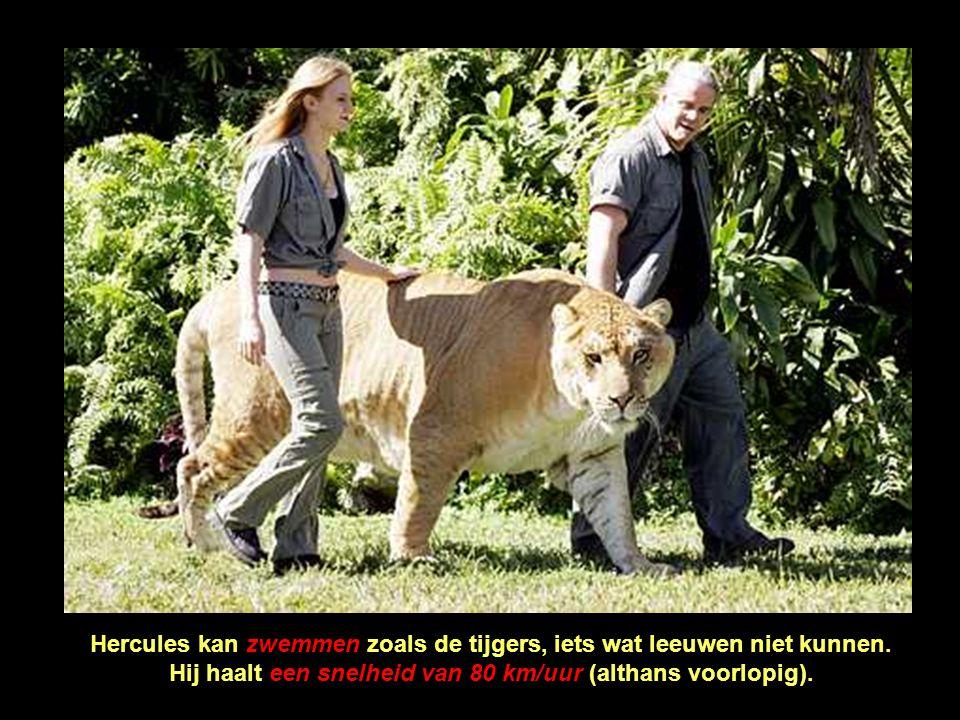 Het dier lijkt op een grote leeuw, maar het heeft de strepen van een tijger. Momenteel is dit de grootste katachtige ter wereld... Hij is meer dan 3 m