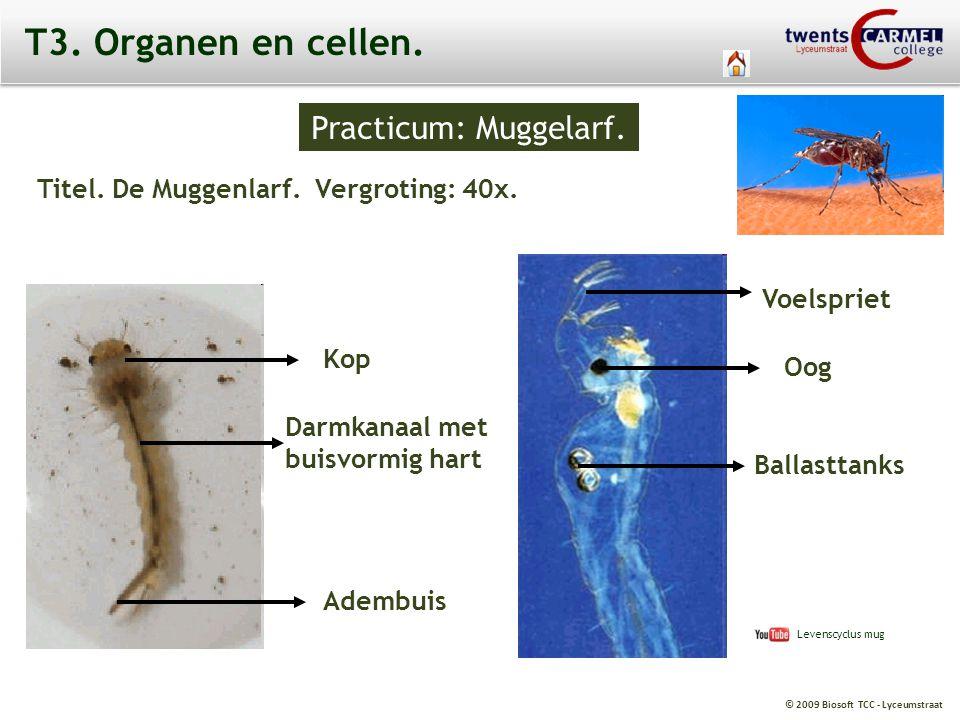 © 2009 Biosoft TCC - Lyceumstraat T3. Organen en cellen. Practicum: Muggelarf. Titel. De Muggenlarf. Vergroting: 40x. Voelspriet Ballasttanks Oog Darm