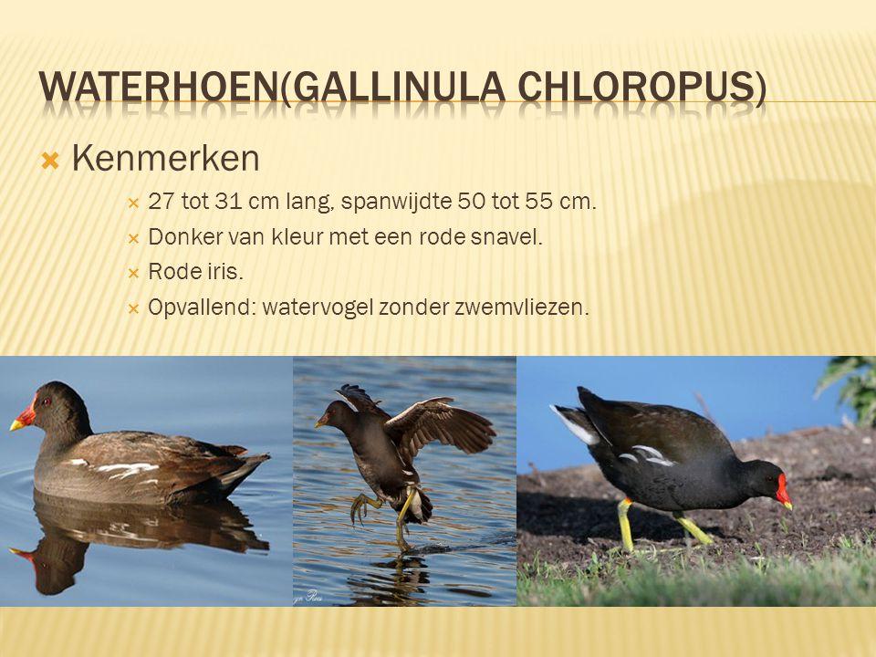  Leefomgeving & Verspreiding  In het riet en in het water.  Broedt in het riet.  13000 – 16000 broedparen in Nederland (in 1998-2000).