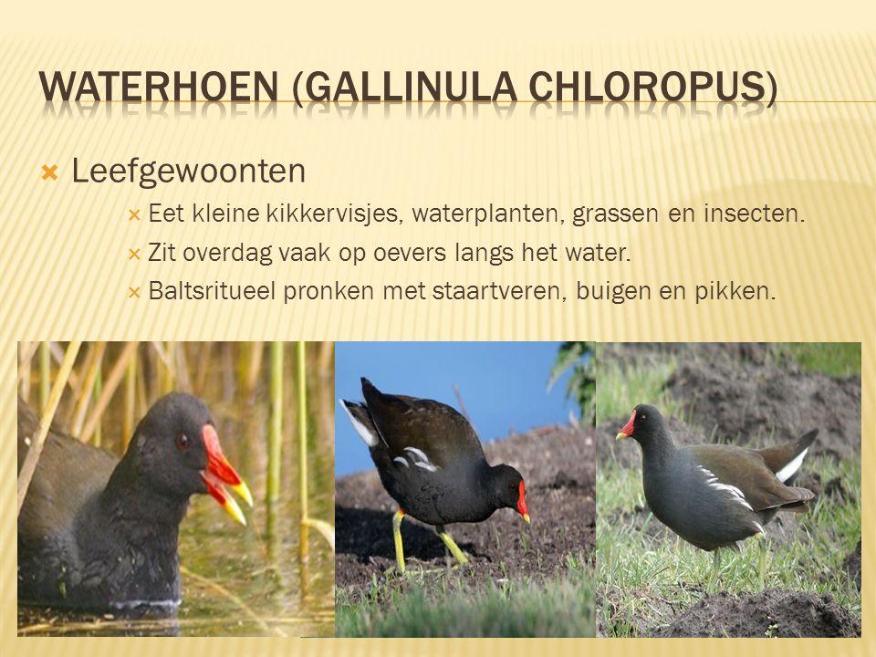  Kenmerken  27 tot 31 cm lang, spanwijdte 50 tot 55 cm.  Donker van kleur met een rode snavel.  Rode iris.  Opvallend: watervogel zonder zwemvlie