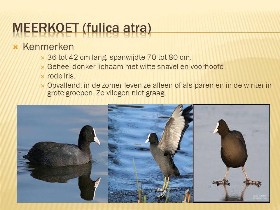  Leefomgeving & Verspreiding  Voornamelijk tussen de oeverplanten.  Bouwt nesten in de beurt van water.  Ongeveer 50.000 broedparen in Nederland (
