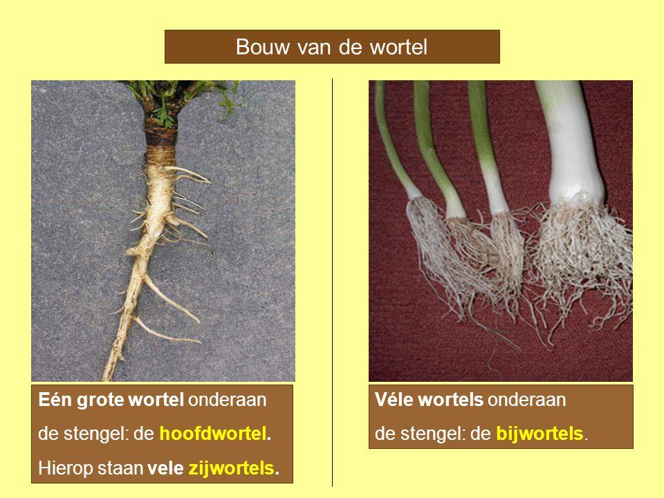 Bouw van de wortel Eén grote wortel onderaan de stengel: de hoofdwortel. Hierop staan vele zijwortels. Véle wortels onderaan de stengel: de bijwortels