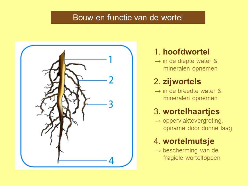 1. hoofdwortel 2. zijwortels 3. wortelhaartjes 4. wortelmutsje Bouw en functie van de wortel → in de diepte water & mineralen opnemen → in de breedte