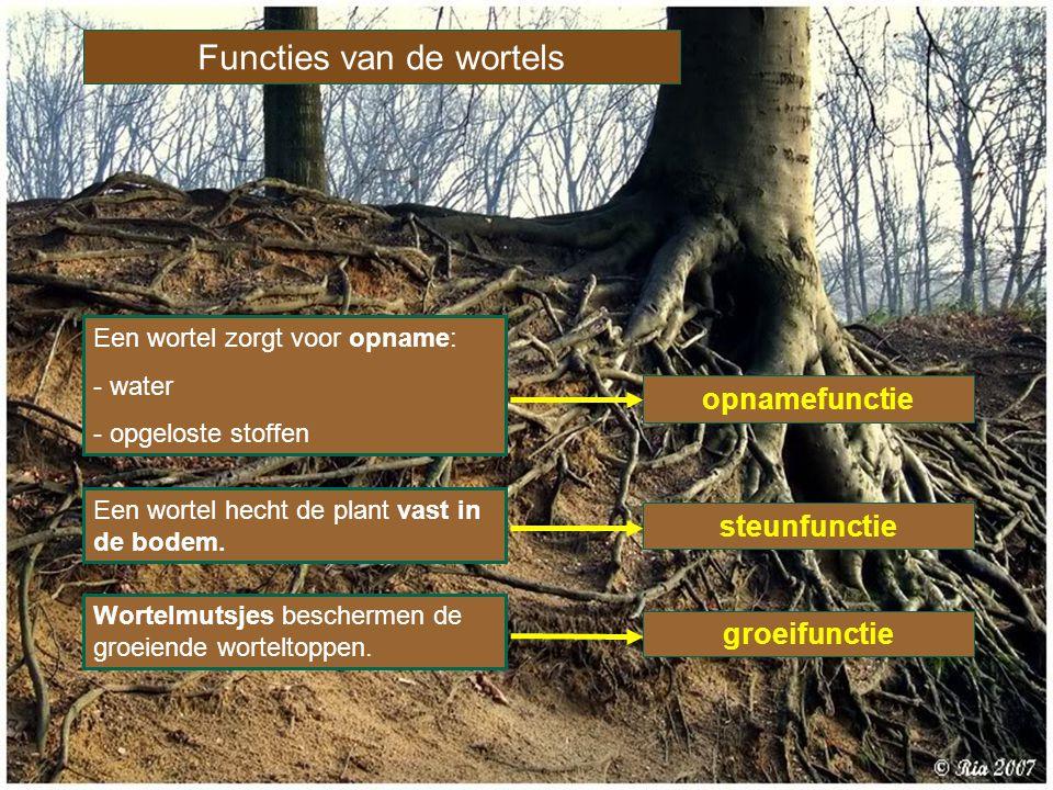 Functies van de wortels Een wortel hecht de plant vast in de bodem. opnamefunctie Een wortel zorgt voor opname: - water - opgeloste stoffen steunfunct