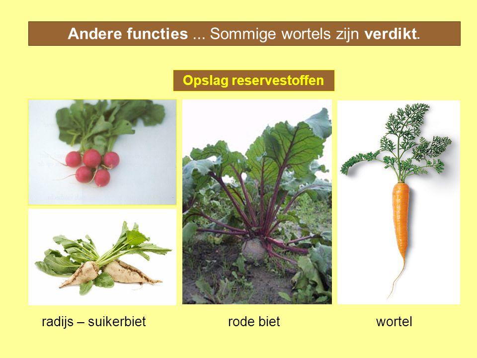Andere functies... Sommige wortels zijn verdikt. Opslag reservestoffen radijs – suikerbietrode bietwortel