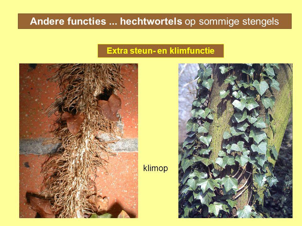 Andere functies... hechtwortels op sommige stengels Extra steun- en klimfunctie klimop