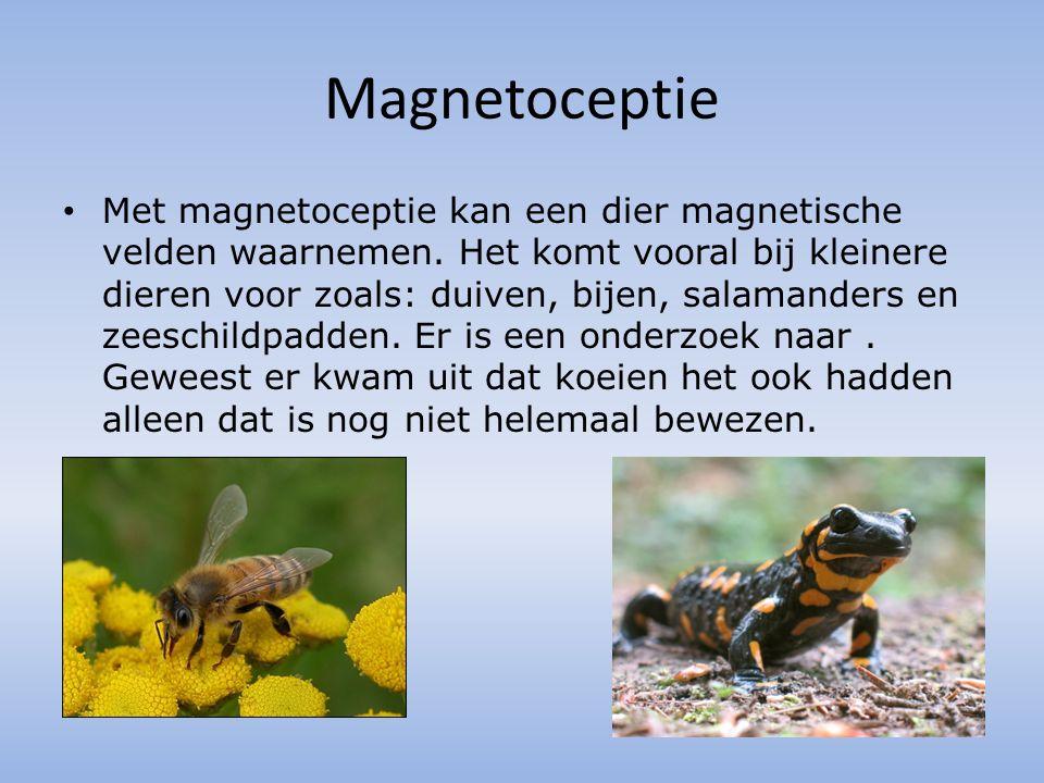 Magnetoceptie Met magnetoceptie kan een dier magnetische velden waarnemen. Het komt vooral bij kleinere dieren voor zoals: duiven, bijen, salamanders