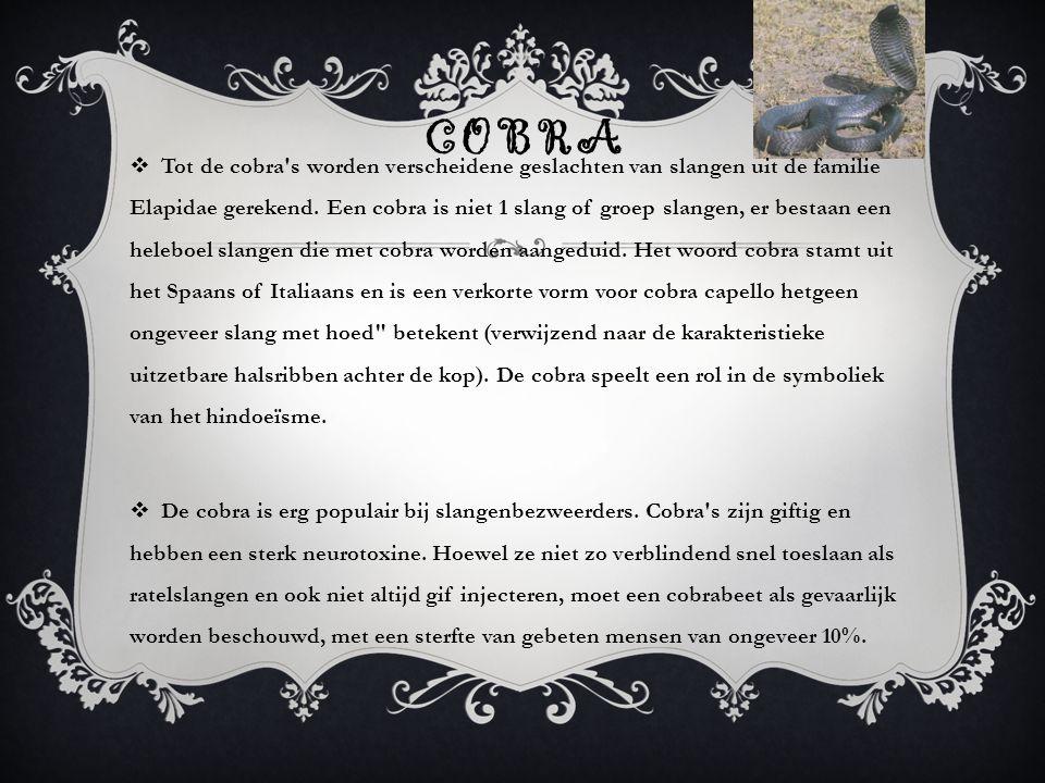COBRA  Tot de cobra's worden verscheidene geslachten van slangen uit de familie Elapidae gerekend. Een cobra is niet 1 slang of groep slangen, er bes