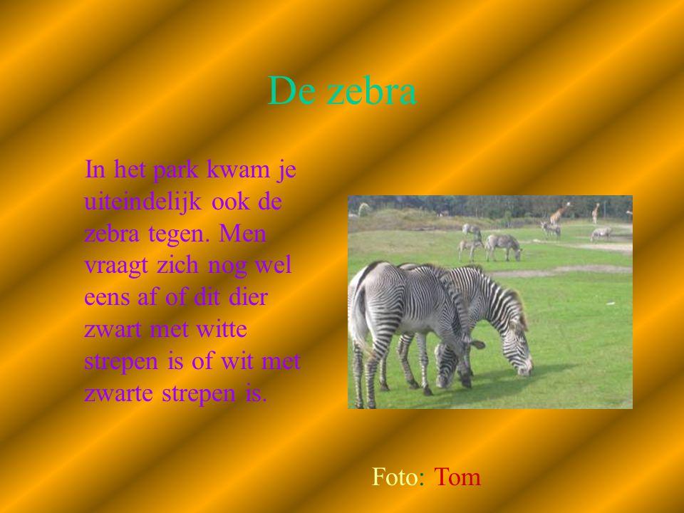 De zebra In het park kwam je uiteindelijk ook de zebra tegen. Men vraagt zich nog wel eens af of dit dier zwart met witte strepen is of wit met zwarte