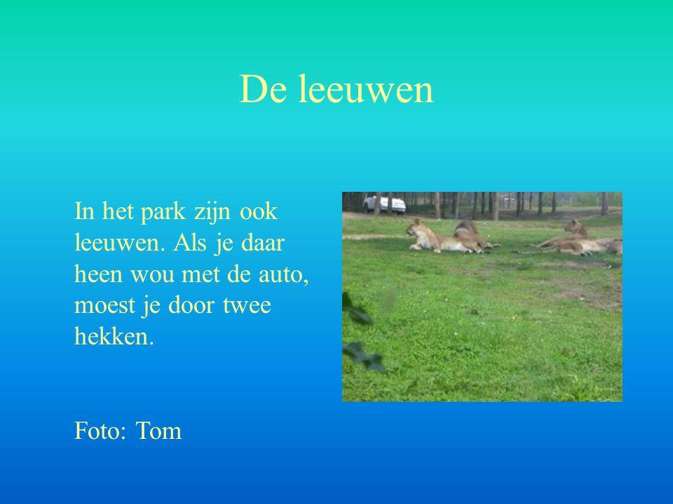 De leeuwen In het park zijn ook leeuwen. Als je daar heen wou met de auto, moest je door twee hekken. Foto: Tom