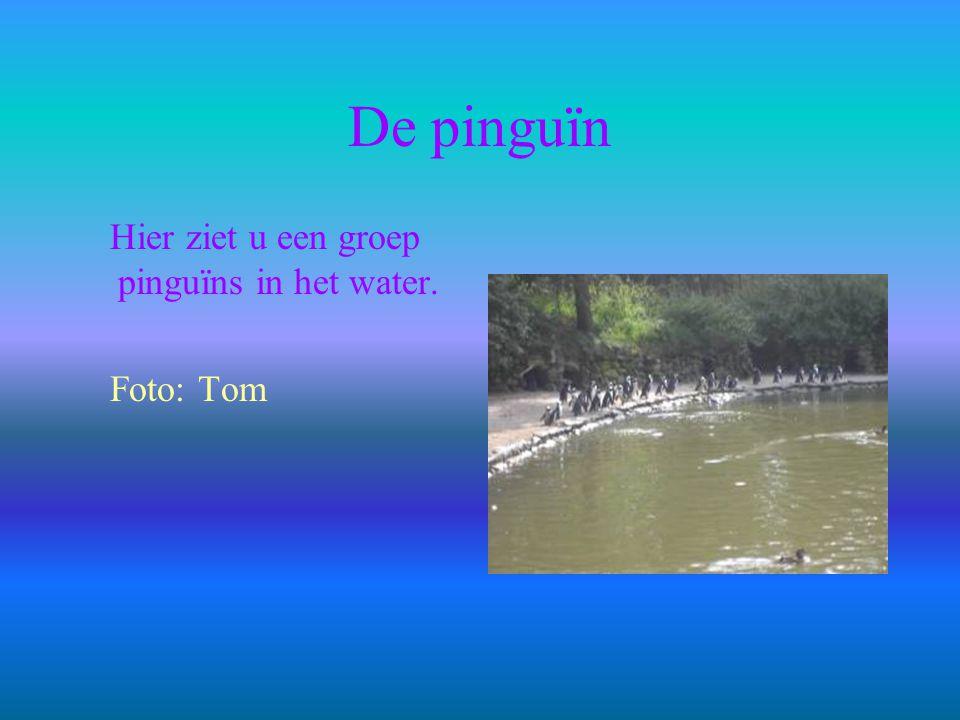 De pinguïn Hier ziet u een groep pinguïns in het water. Foto: Tom
