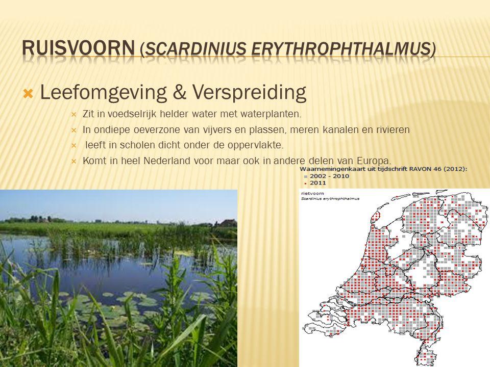  Leefomgeving & Verspreiding  Zit in voedselrijk helder water met waterplanten.  In ondiepe oeverzone van vijvers en plassen, meren kanalen en rivi