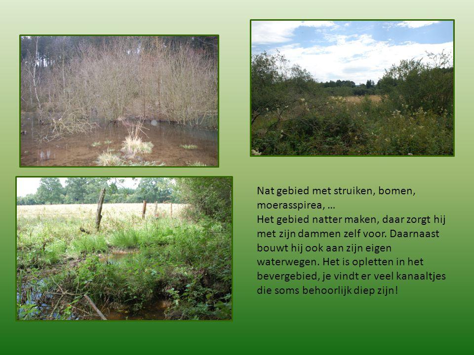Nat gebied met struiken, bomen, moerasspirea, … Het gebied natter maken, daar zorgt hij met zijn dammen zelf voor. Daarnaast bouwt hij ook aan zijn ei