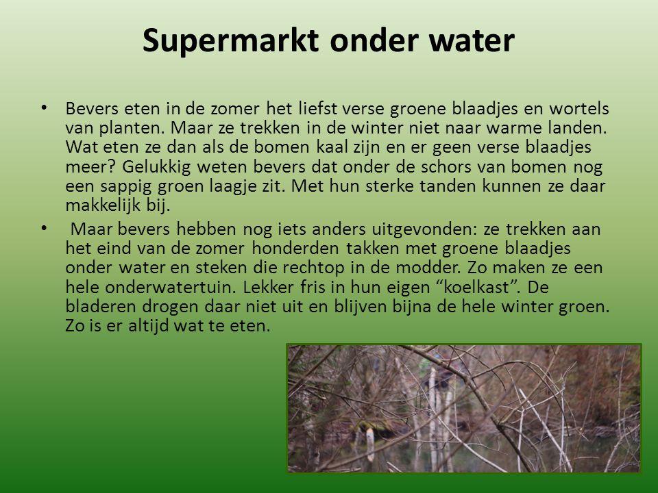 Supermarkt onder water Bevers eten in de zomer het liefst verse groene blaadjes en wortels van planten. Maar ze trekken in de winter niet naar warme l