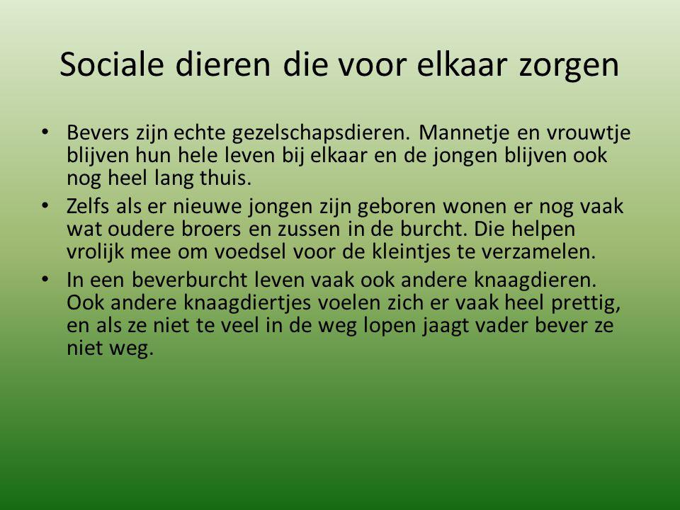 Sociale dieren die voor elkaar zorgen Bevers zijn echte gezelschapsdieren.