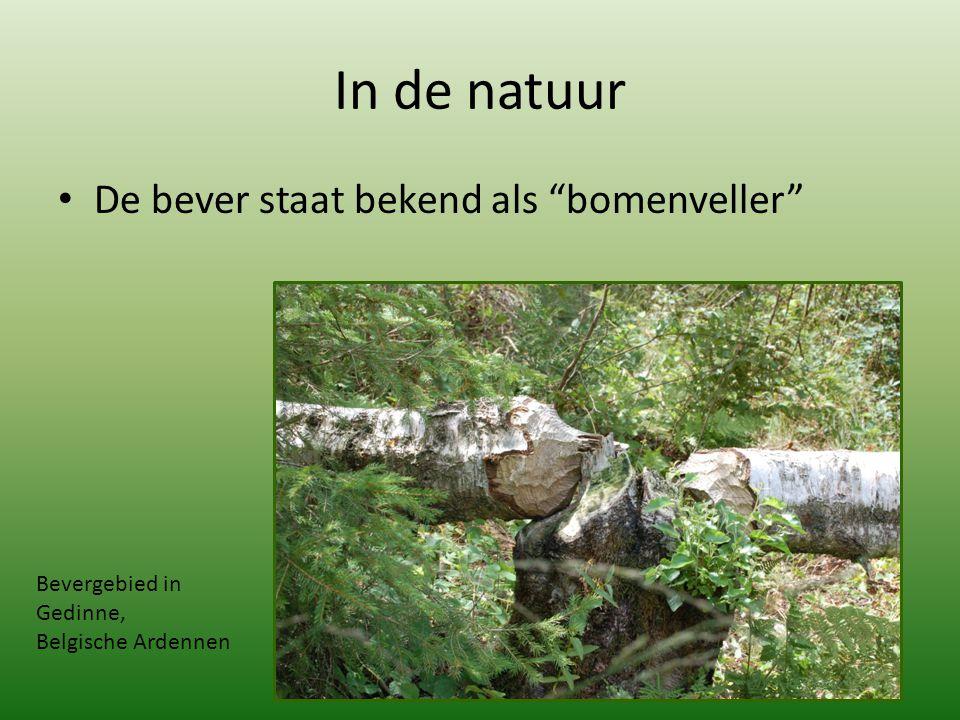 """In de natuur De bever staat bekend als """"bomenveller"""" Bevergebied in Gedinne, Belgische Ardennen"""