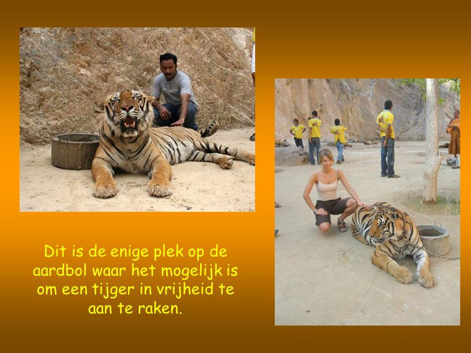 Dit is de enige plek op de aardbol waar het mogelijk is om een tijger in vrijheid te aan te raken.