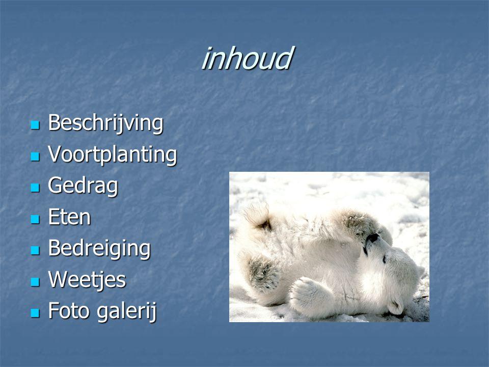 beschrijving De ijsbeer is zeer groot: hij kan tot 2,8 meter lang en 800 kilogram zwaar.