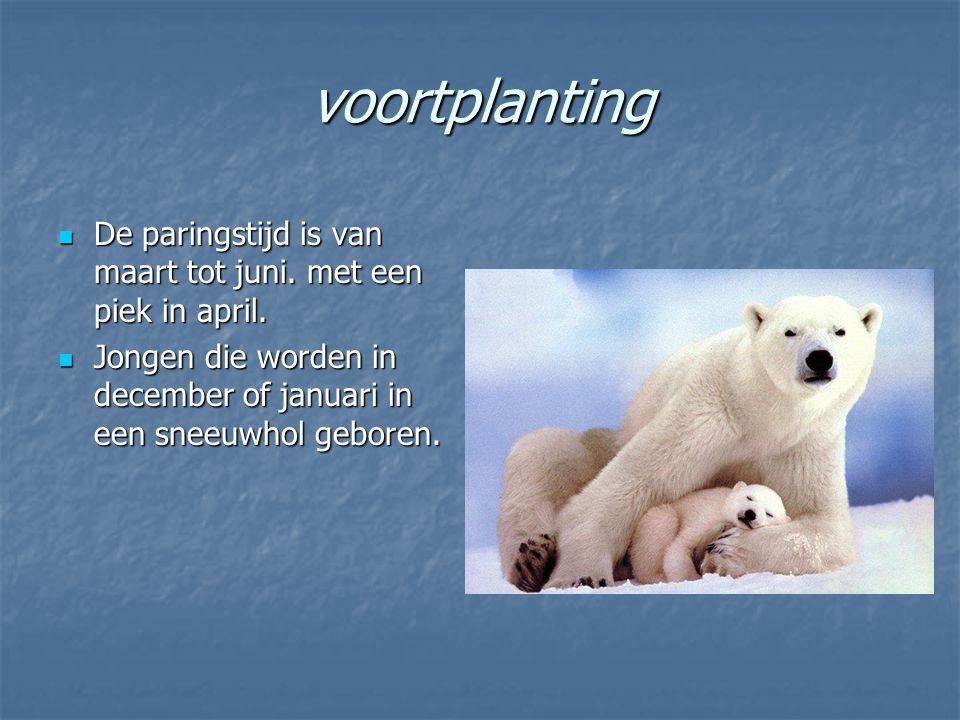 gedrag De ijsbeer is zowel overdag als 's nachts actief.