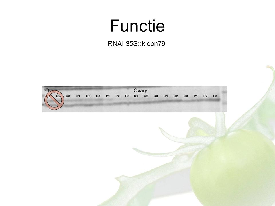 Functie RNAi 35S::kloon79