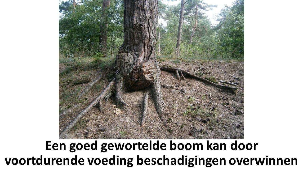 Een goed gewortelde boom kan door voortdurende voeding beschadigingen overwinnen