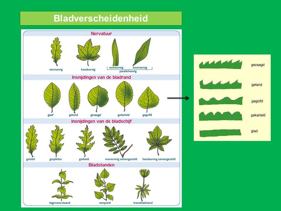 zijnerf bladrand Bouw van een blad bladsteel hoofdnerf bladschijf bladmoes hazelaar bladader bladskelet