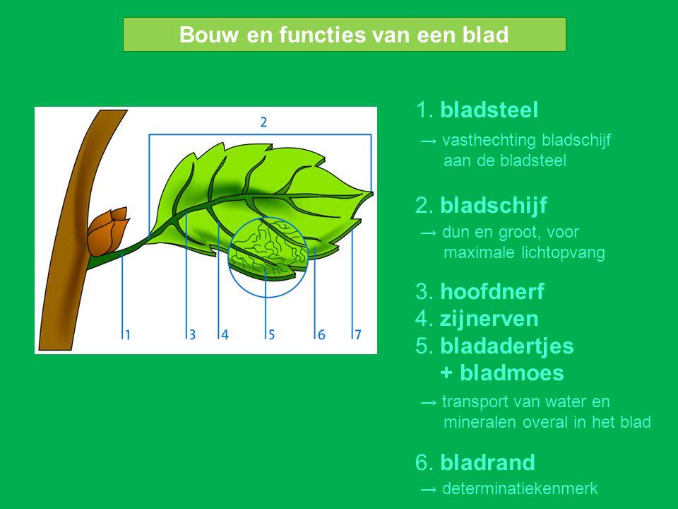 1. bladsteel 2. bladschijf 3. hoofdnerf 4. zijnerven 5. bladadertjes + bladmoes 6. bladrand Bouw en functies van een blad → vasthechting bladschijf aa