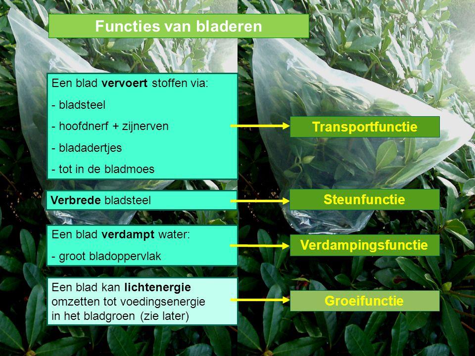Een blad vervoert stoffen via: - bladsteel - hoofdnerf + zijnerven - bladadertjes - tot in de bladmoes Verdampingsfunctie Een blad verdampt water: - g