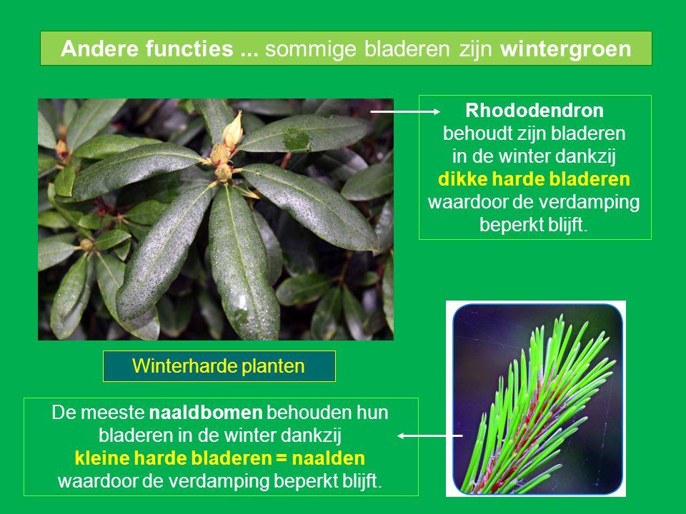 Andere functies... sommige bladeren zijn wintergroen Rhododendron behoudt zijn bladeren in de winter dankzij dikke harde bladeren waardoor de verdampi