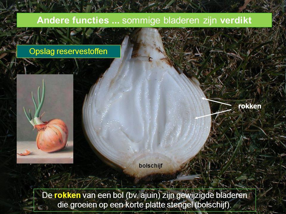bolschijf rokken De rokken van een bol (bv. ajuin) zijn gewijzigde bladeren die groeien op een korte platte stengel (bolschijf). Andere functies... so