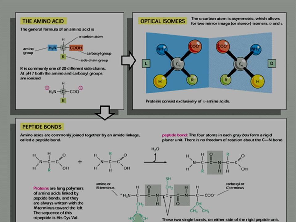 Eiwitten - AZ - peptidebinding -