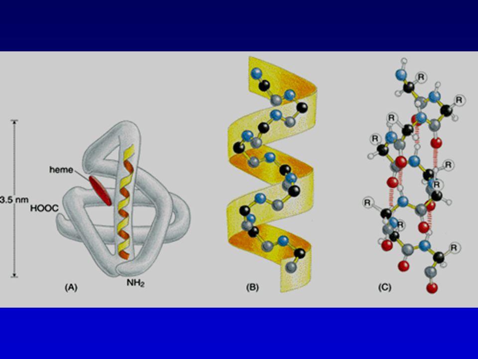 Proteïne stabiliteit Een correct gevouwen proteïne blijft niet noodzakelijk in die 3D structuur.