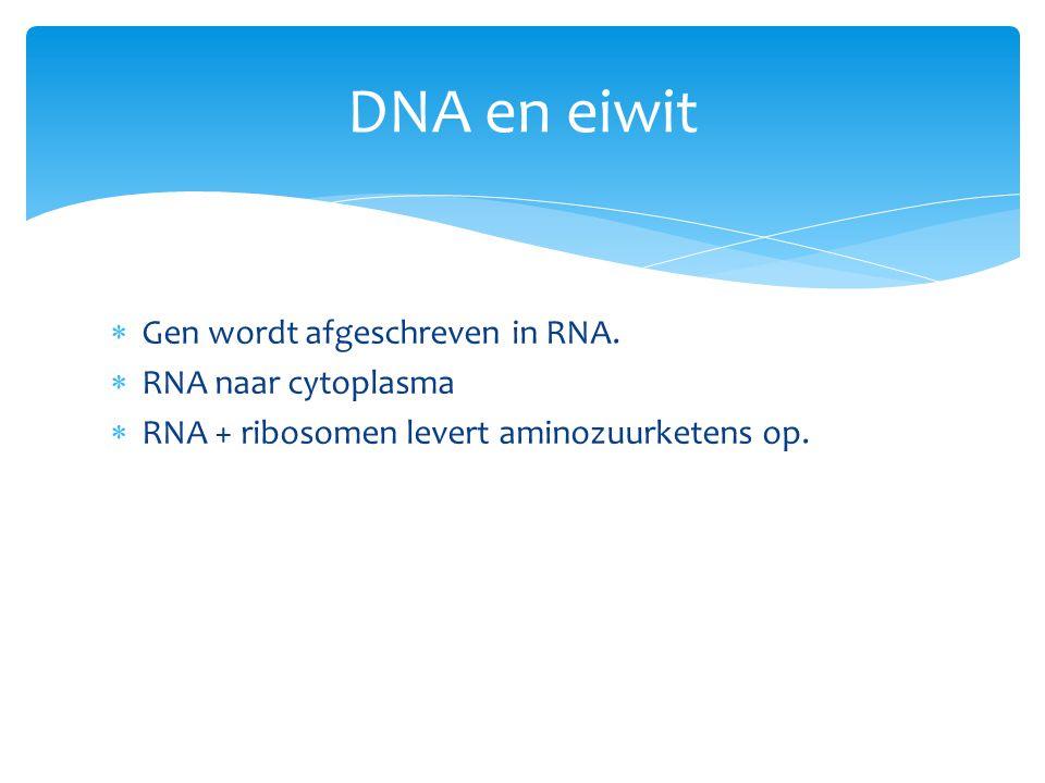  Gen wordt afgeschreven in RNA.  RNA naar cytoplasma  RNA + ribosomen levert aminozuurketens op. DNA en eiwit