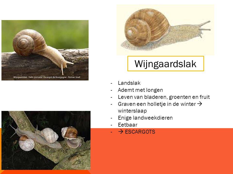 Wijngaardslak -Landslak -Ademt met longen -Leven van bladeren, groenten en fruit -Graven een holletje in de winter  winterslaap -Enige landweekdieren -Eetbaar -  ESCARGOTS