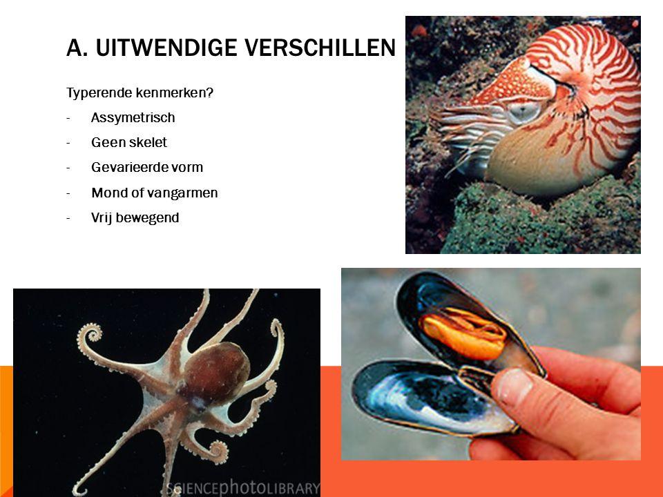 BIO + : DE KLASSE VAN DE SLAKKEN -Bevat als enige ook landbewoners -Elk slakkelichaam is langwerpig -Slakkenlichaam bestaat vooral uit water -Achteraan hebben we een gespierde voet  kruipen, zwemmen, of graven -Slijmerige huid  beschermen tegen uitdroging + betere grip -Voorzijde: kop met 2 of 4 tentakels -Kortste tentakels: tasters of voelhorens  geuren waarnemen -Langere tentakels: oogstelen met eenvoudige lichtreceptoren -Assymetrisch  spiraalvormige schelp of slakkenhuis, ingewandenzak -Draaiing schelp: nadeel  ingewanden hebben weinig plaats