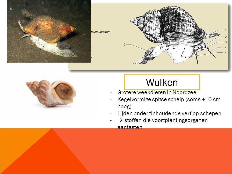 Wulken -Grotere weekdieren in Noordzee -Kegelvormige spitse schelp (soms +10 cm hoog) -Lijden onder tinhoudende verf op schepen -  stoffen die voortplantingsorganen aantasten