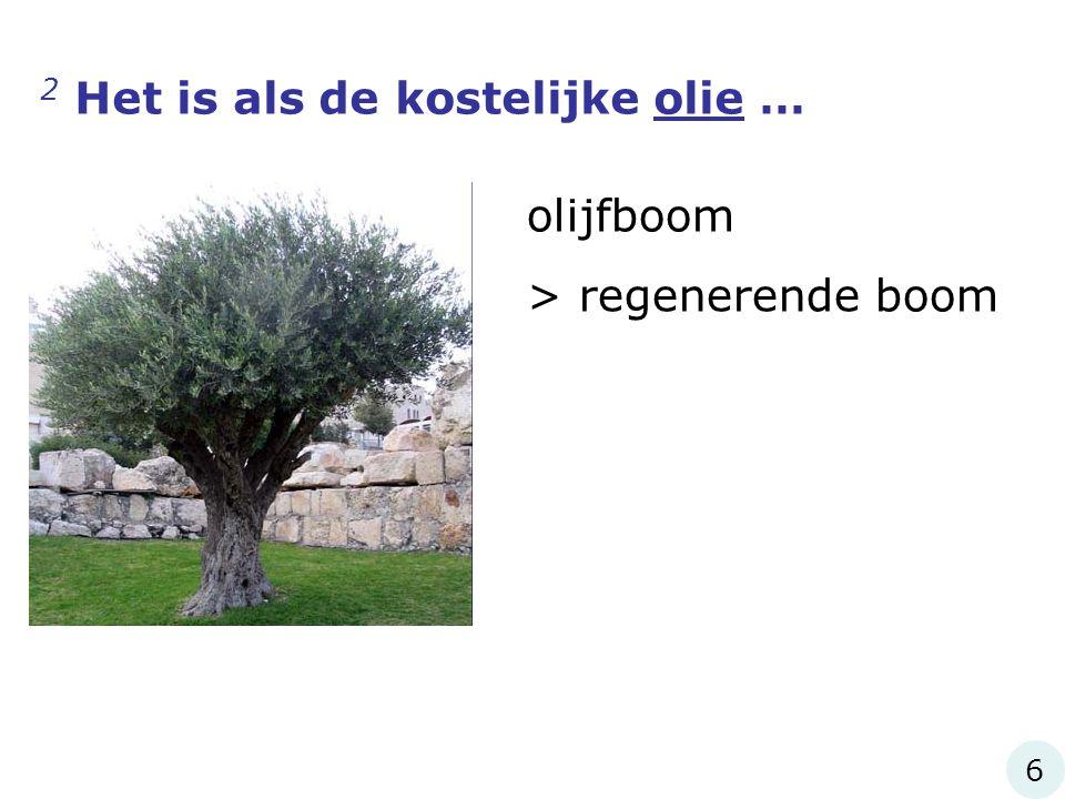 2 Het is als de kostelijke olie … olijfboom > regenerende boom 6