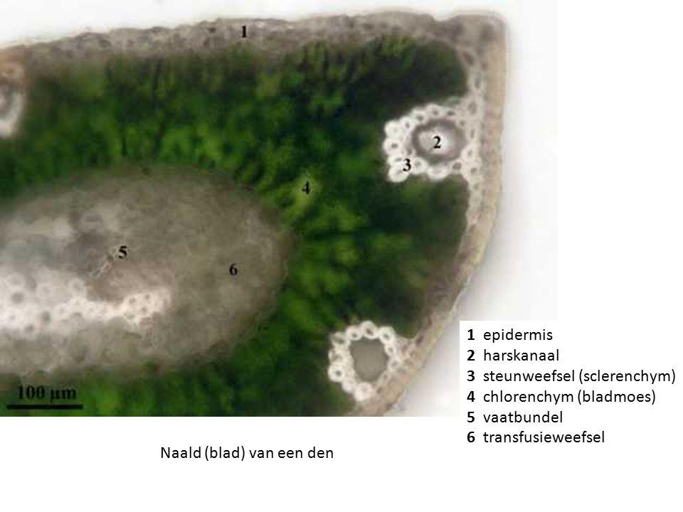 1 epidermis 2 harskanaal 3 steunweefsel (sclerenchym) 4 chlorenchym (bladmoes) 5 vaatbundel 6 transfusieweefsel Naald (blad) van een den