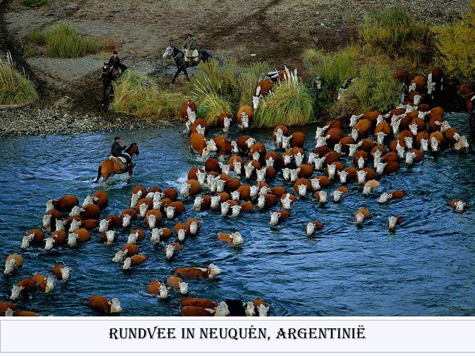 Rundvee in Neuquén, Argentinië
