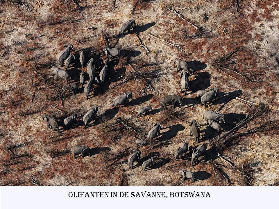 Olifanten in de Savanne, Botswana