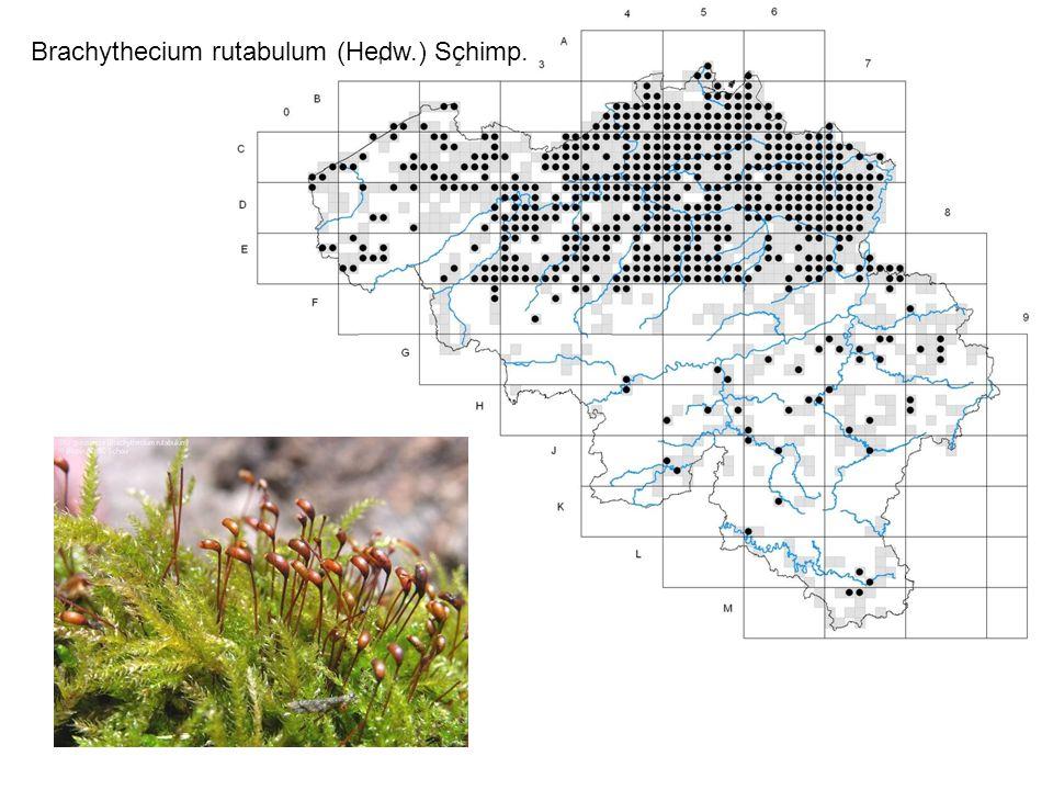 Brachythecium rutabulum (Hedw.) Schimp.