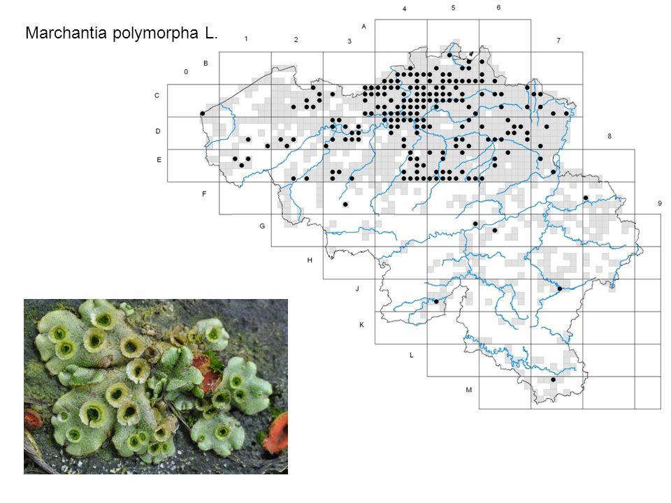 Marchantia polymorpha L.