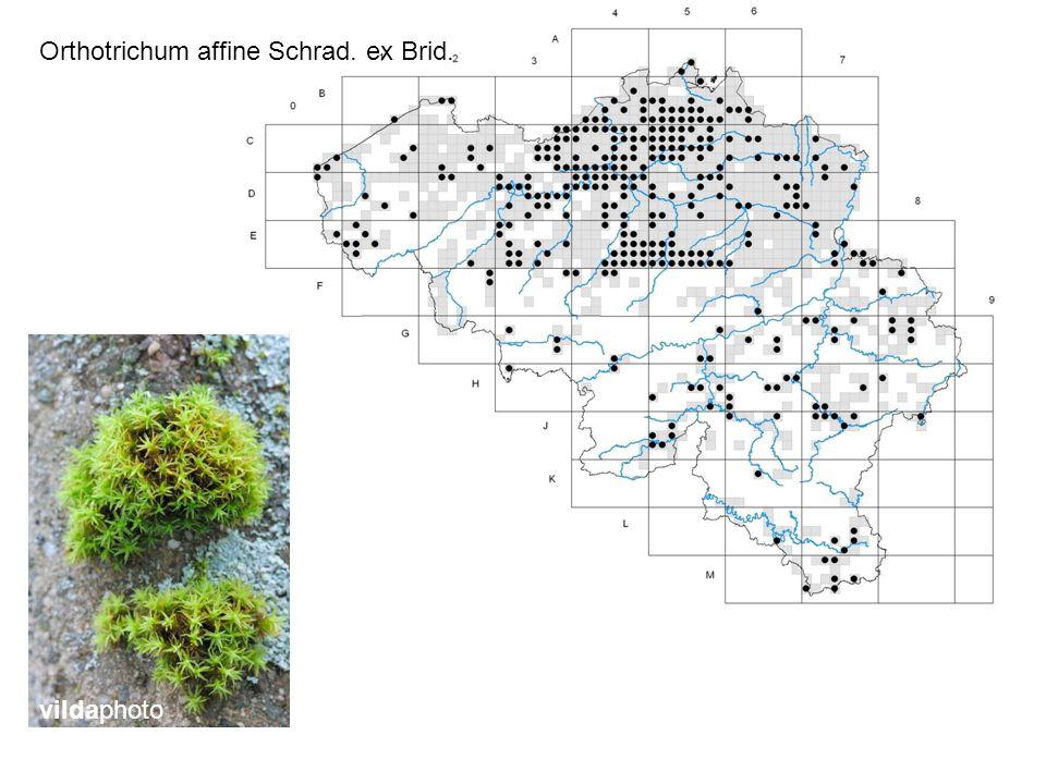 Orthotrichum affine Schrad. ex Brid. vildaphoto