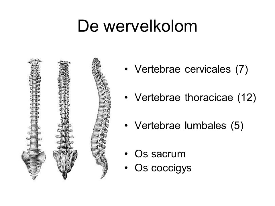 De wervelkolom Vertebrae cervicales (7) Vertebrae thoracicae (12) Vertebrae lumbales (5) Os sacrum Os coccigys