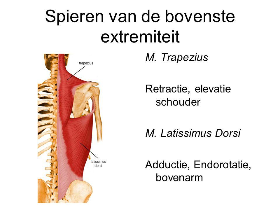 Spieren van de bovenste extremiteit M. Trapezius Retractie, elevatie schouder M. Latissimus Dorsi Adductie, Endorotatie, bovenarm